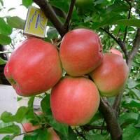 Яблуня Едера (ІЯБ-146)