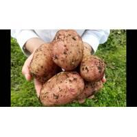 Картопля Бельмонда за 2 кг (ІКР-163-2)