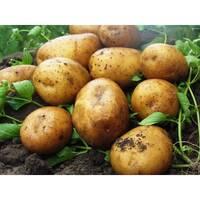 Картопля Карелія за 2 кг (ІКР-164-2)