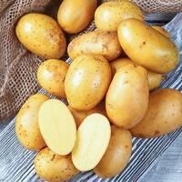 Картопля Королева Анна за 6 кг (ІКР-37-6)