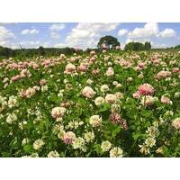 Семена клевер розовый гибрид 1кг