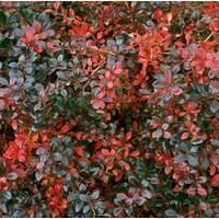 Барбарис средний Red jewel (ОКН-700) за 2-4 л