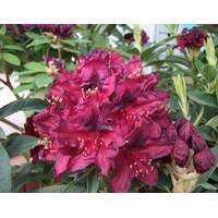 Рододендрон гибридный Kali 2 годовой, Рододендрон гибридный Кали, Rhododendron Kali
