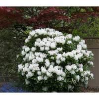 Рододендрон гибридный Cunningham's White 2 годовой, Рододендрон гибридный Каннингемс Уайт, Rhododendron