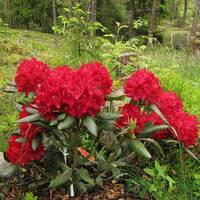 Рододендрон гибридный Busuki 2 годовой, Рододендрон гибридный Бузуки, Rhododendron Hybride Busuki