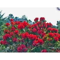 Рододендрон гибридный Brisanz 2 годовой, Рододендрон гибридный Бризанс, Rhododendron Brisanz