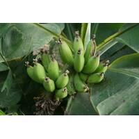 Банан Київський карликовий (ІКМ-11) за 0,5-1,5 л
