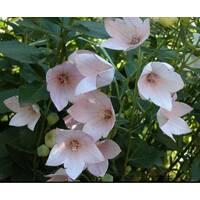 Платікодон рожевий (ОКН-2768) за 2-4 л
