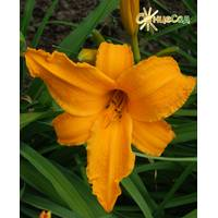 Лілійник Golden Orchid (АЛН-68)
