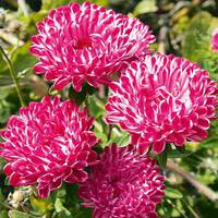 Астра Седая дама розовая за 0,3 г (ЕНК-129)