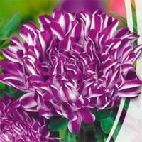 Астра Седая дама фиолетовая за 0,3 г (ЕНК-130)