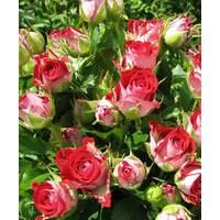 Роза Спрей Руби Стар (ІТЯ-424)