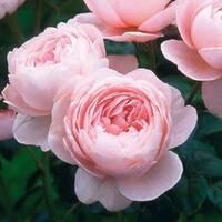Роза английская Квин оф Шведен (ІТЯ-420)