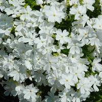 Флокс шиловидный WHITE DELIGHT (ОКН-2820) (0,5-1,5 л)