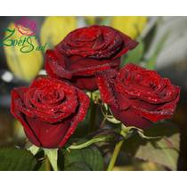 Саджанці троянд Фиджа Негро