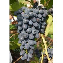 Виноград Надєжда АЗОС (ОКН-1170) за 2-4 л