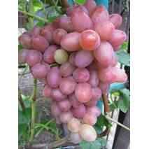 Виноград Софія (ОКН-2941) за 2-4 л