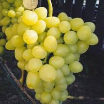 Виноград Аркадія (ОКН-1750) за 2-4 л