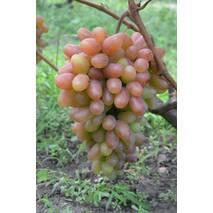 Виноград Преображення (ОКН-1174) за 2-4 л