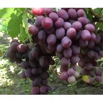 Виноград Еверест (ОКН-2715) за 2-4 л