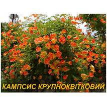 Саженцы Кампсиса китайского (крупноцветковый) (ЗКС)