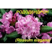 """Саженцы Рододендрона """"Roseum Elegans"""" (ЗКС) 3 г."""