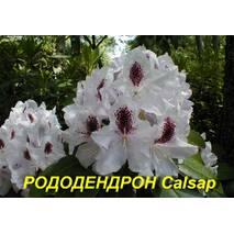 """Саженцы Рододендрона """"Calsap"""" (ЗКС) 4 г."""