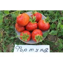 Суниця садова Фортуна (ОКН-2643) за 0,5-1,5 л
