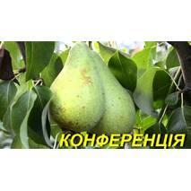 """Саженцы груши """"Конференция"""" 2 р"""