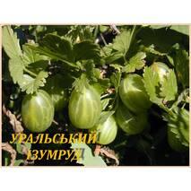 "Саженцы крыжовника ""Уральский изумруд"" (ЗКС) 2 года"