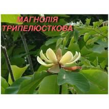 """Саженцы Магнолии трёхлипестковой """"Tripetala"""" (ЗКС)"""