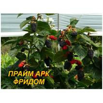 """Саженцы Ежевики """"Прайм Арк Фридом"""" (ЗКС) 2 г."""