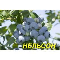 """Голубика (черника) """"Нэльсон"""" (ЗКС) 3 г."""