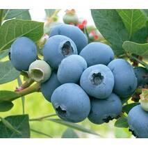 Голубика Бонус (ОКН-374) за 5-7,5 л