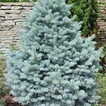 Ель голубая (10-15 см)
