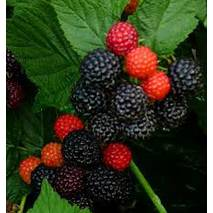 Черная малина садовая Black Jewel (Блек джевел) (черний жемчуг) в горшках