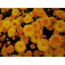 Хризантема Осіннє рандеву за 0,5-1,5 л (ОКН-3034)