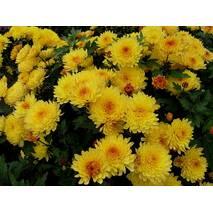 Хризантема Сонцесвіт за 0,5-1,5 л (ОКН-3032)
