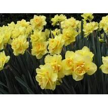 Нарцис Yellow Cherfulness (АНР-3) за 2 шт.