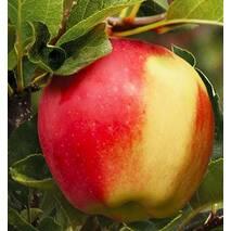 Яблоня Амброзия (ІЯБ-152)