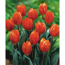 Тюльпаны простые поздние Temple of Beauty (АТП-222А) за 20 шт.