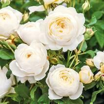Троянда англійська Клер Остін (ІТЯ-429) за шт.