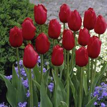 Тюльпан простий пізній Kings Blood (АТП-386А) за 20 шт.