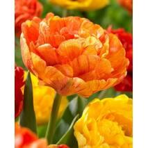 Тюльпан повний пізній Sunlover (АТП-381А) за 20 шт.
