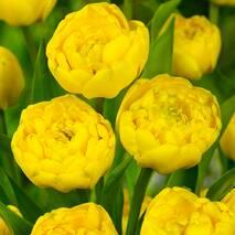 Тюльпан повний пізній Yellow Pomponette (АТП-370А) за 20 шт.
