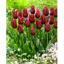 Тюльпан триумф National Velvet (АТП-383А) за 20 шт.