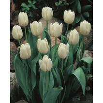 Тюльпан триумф White Dream (АТП-211А) за 20 шт.