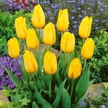 Тюльпаны триумфы Strong gold (АТП-394) за 2 шт.