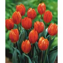 Тюльпани прості пізні Temple of Beauty (АТП-222) за 2 шт.