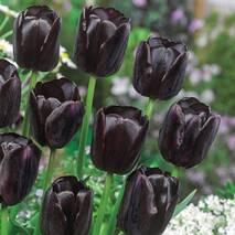 Тюльпан простой поздний Queen of Night (АТП-220А) за 20 шт.